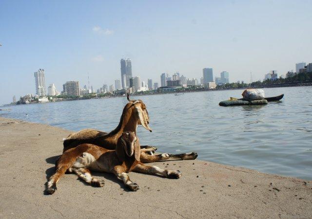 Chèvre de Bombay